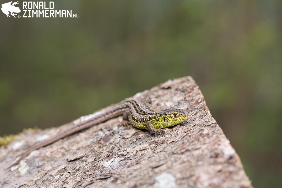 Sand Lizard (Lacerta agilis argus)