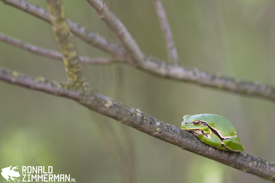 Eastern Tree Frog (Hyla orientalis) in situ