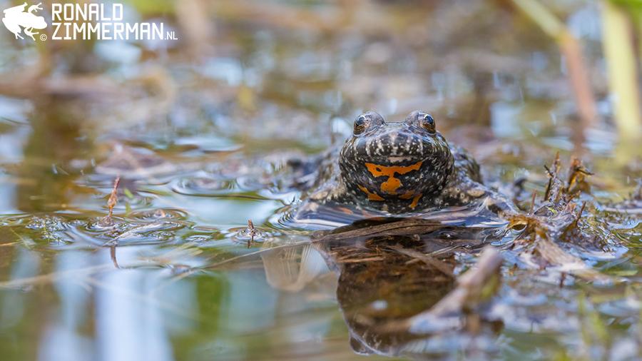 European Fire-bellied Toad (Bombina bombina)