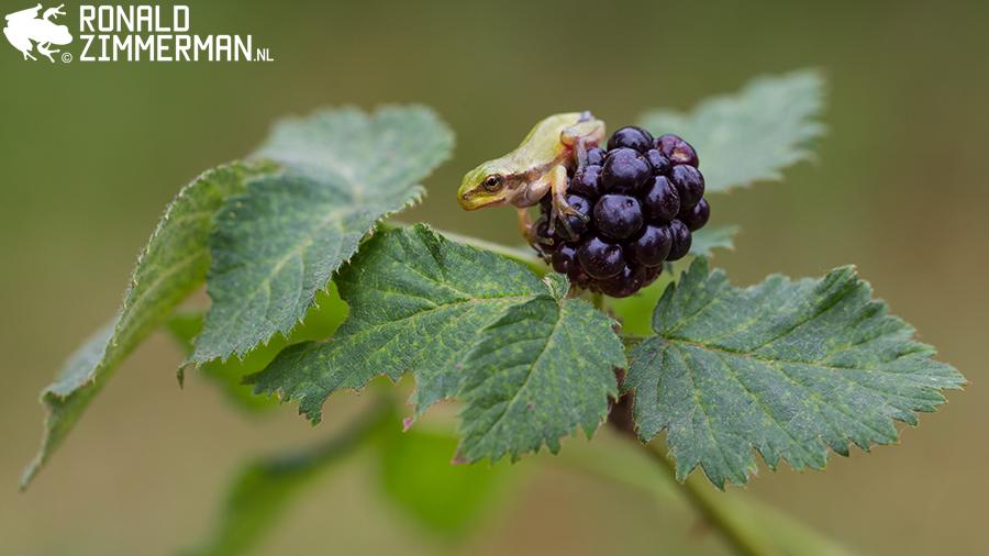 Juvenile European Tree Frog (Hyla arborea)