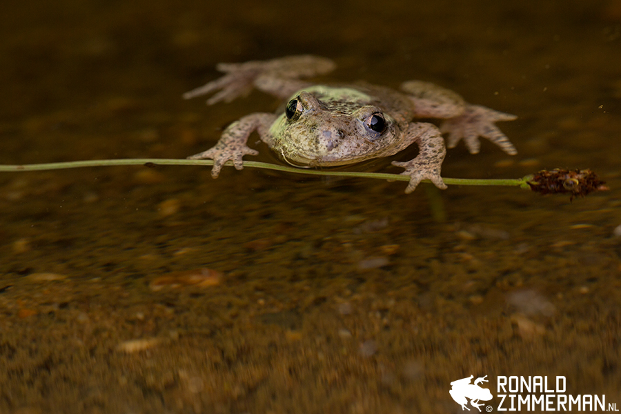 Midwife Toad (Alytes obstetricians)