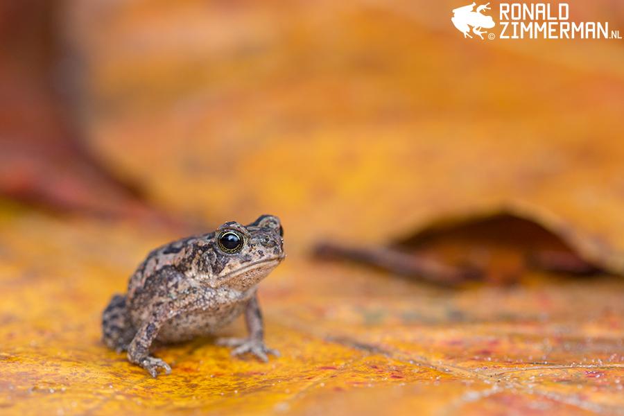 Marine Toad (Rhinella marina)