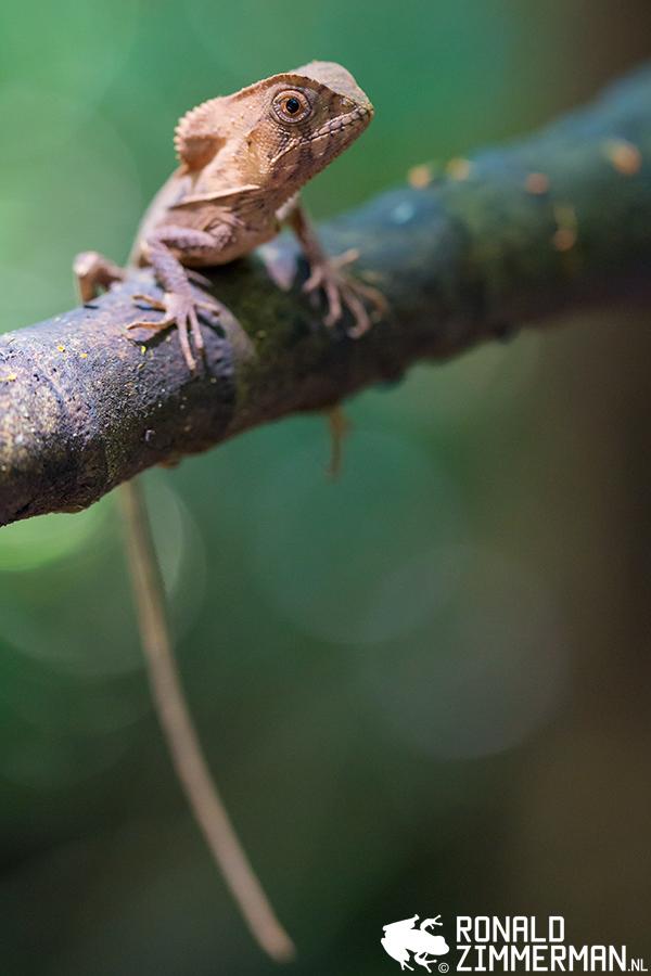 Helmeted Basilisk (Corytophanes cristatus)