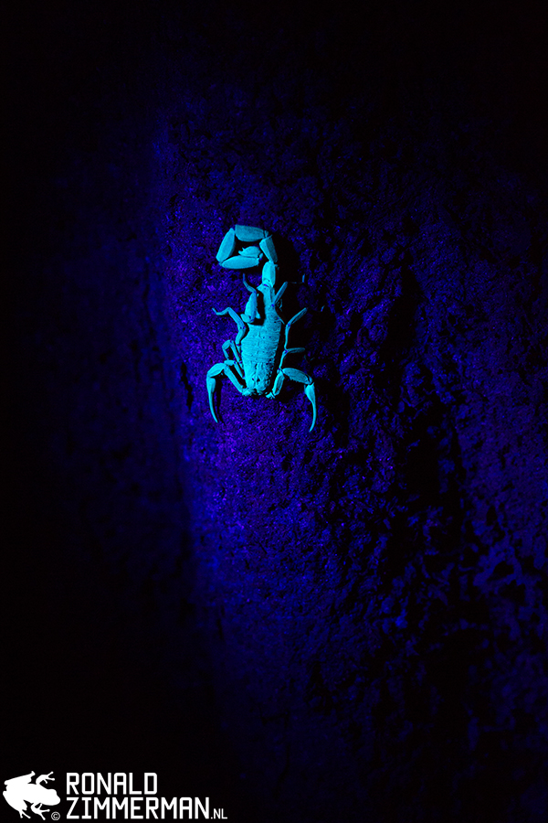 Scorpion under the UV-light