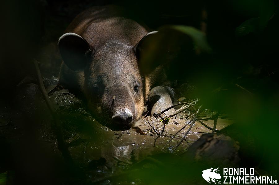 Baird's Tapir (Tapirus bairdii) juv.
