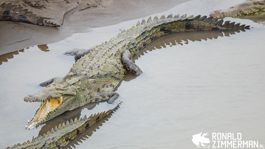 American Crocodiles (Crocodylus acutes)