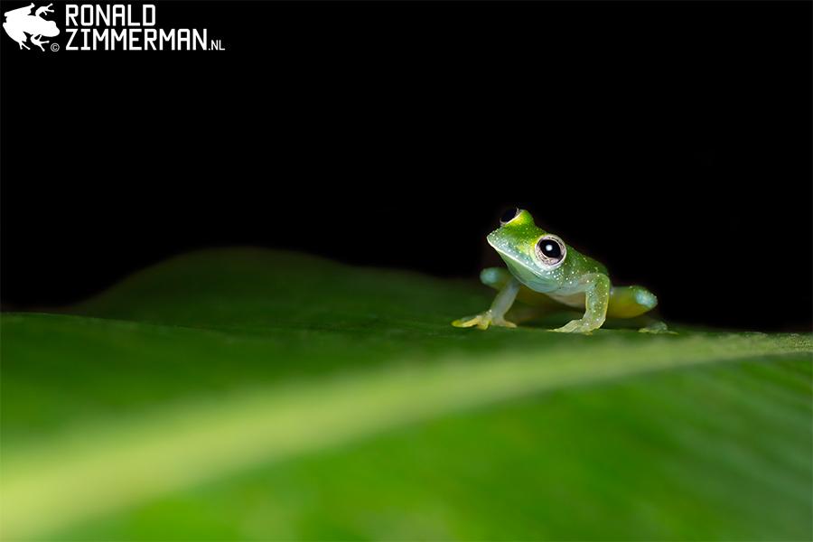 Speckled Glass Frog (Taratohyla pulverata)