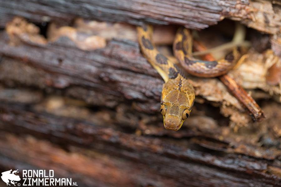 Northern Cat-eyed Snake (Leptodeira septentrionalis)