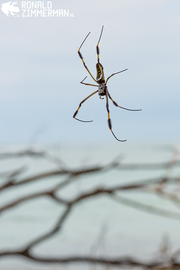Golden Orb Weaver (Nephila clavipes)
