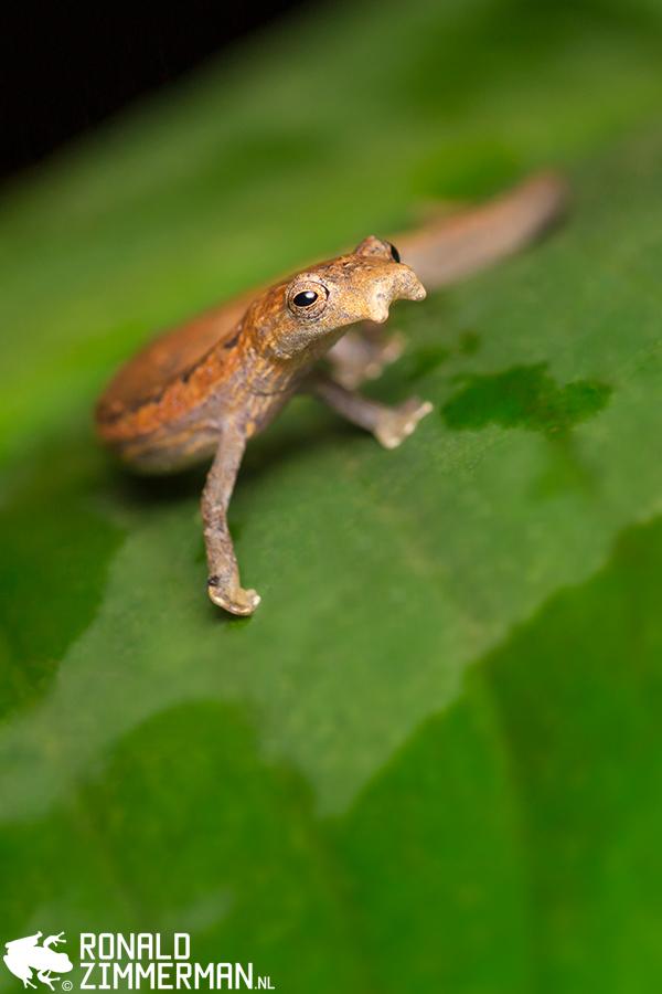 Striated Salamander (Bolitoglossa striatula)