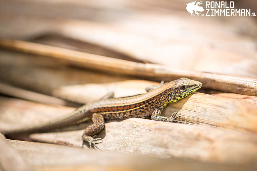 Four-lined Ameiva (Ameiva quadrilineata)