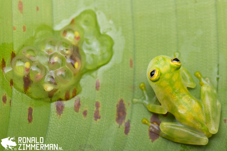 Reticulated Glass Frog (Hyalinobatrachium valerioi)