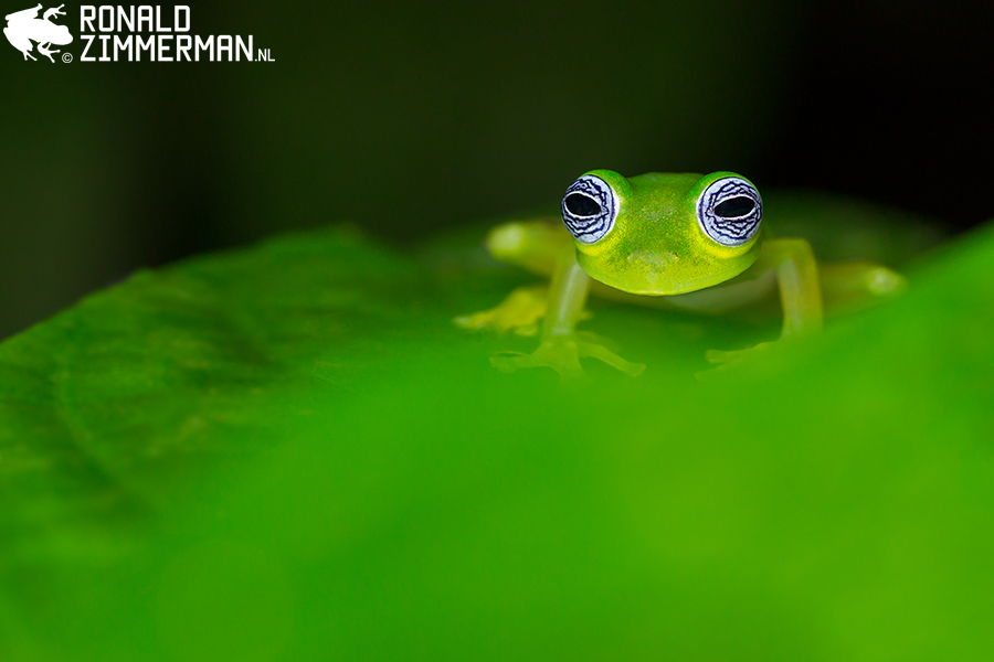 Ghost Glass Frog (Sachatamia ilex)