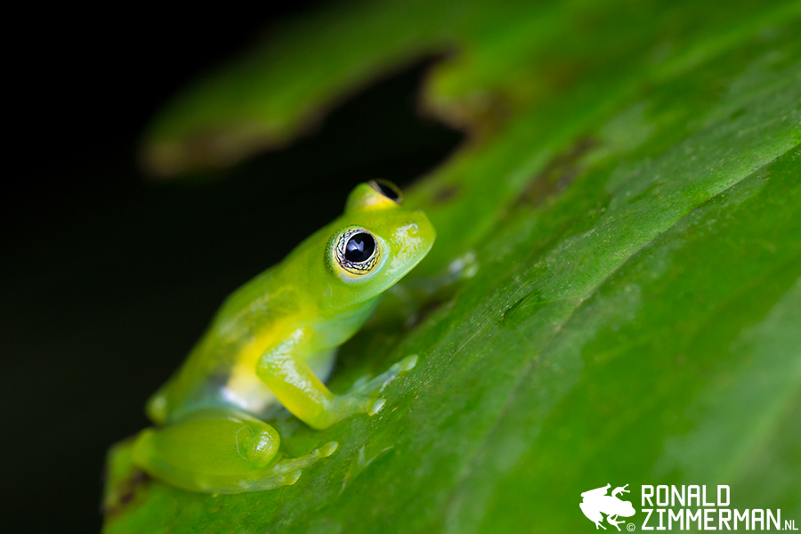 Spiny Glass Frog (Teratohyla spinosa)