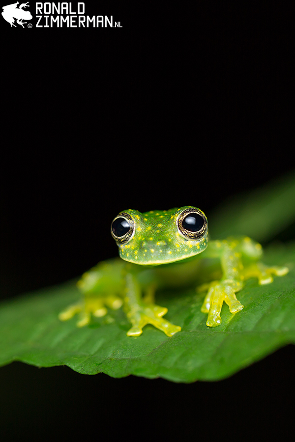 Spotted Glass Frog (Sachatamia albomaculata)