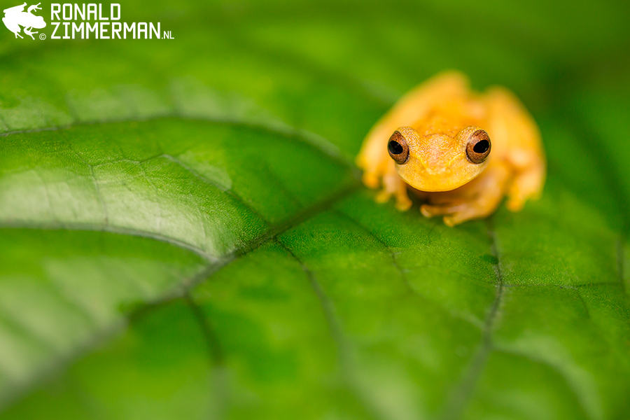 Veined Treefrog (Dendropsophus phlebodes)