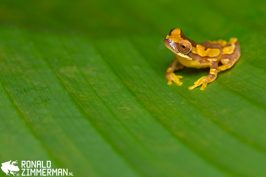 Hourglass Treefrog (Dendropsophus ebraccatus)