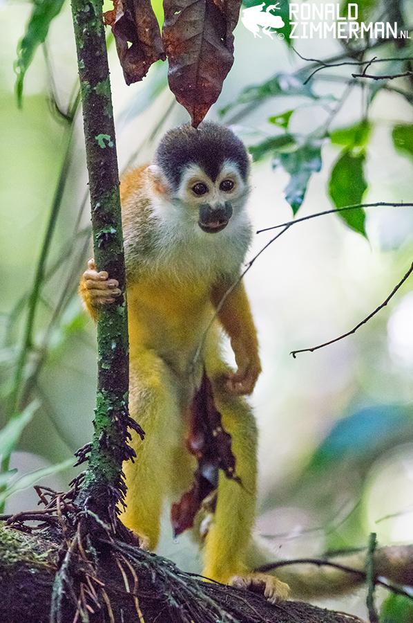 American Squirrel Monkey (Saimiri oerstedii)