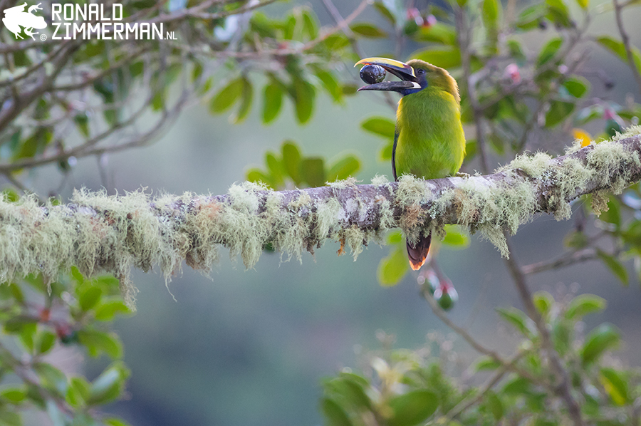 Blue-throated Toucanets (Aulacorhynchus caeruleogularis)