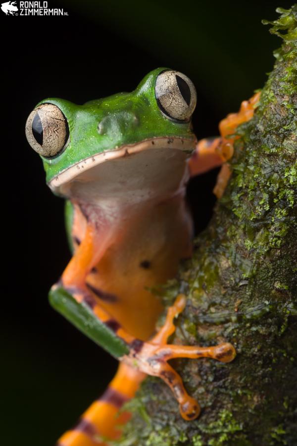 #001 Tiger-striped Leaf Frog (Callimedusatomopterna) portrait